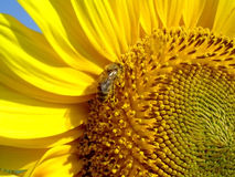 Sunflower visited by a bumblebee. Macro Royalty Free Stock Image