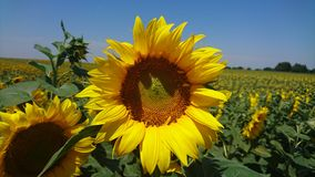 Sunflower in Vojvodina. Sunflower flourished on Vojvodina field Royalty Free Stock Images