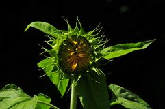 Sunflower waking up at noon royalty free stock photos