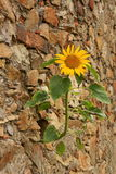 Sunflower on the wall Royalty Free Stock Photography