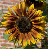Sunflower in walled garden Stock Photography