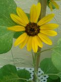 Sunflower wannabe royalty free stock photo