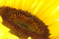 Sunflower with wasp Royalty Free Stock Photo