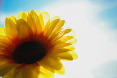 Sunflower. Is watching the sun and the sky Royalty Free Stock Photography