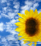Sunflower in water Royalty Free Stock Photography