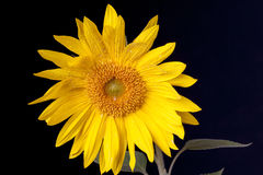 Sunflower with water drops on it. Stock Images