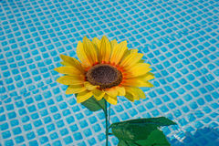 Sunflower in the water Royalty Free Stock Photo