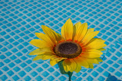 Sunflower in the water Stock Image