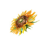 Sunflower. . watercolor Royalty Free Stock Photography