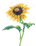 Sunflower, watercolor, white background royalty free stock photography