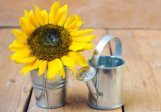 Sunflower and watering can Royalty Free Stock Photos