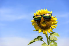 Sunflower wear glasses middle. sunlight in thailand Royalty Free Stock Photography