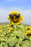 Sunflower wear glasses middle. sunlight in thailand Royalty Free Stock Photos