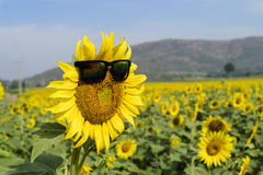 Sunflower wear glasses middle. sunlight in thailand Royalty Free Stock Photo