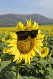 Sunflower wear glasses middle. sunlight in thailand Stock Photos