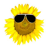 Sunflower wearing black sunglasses Royalty Free Stock Photos