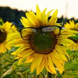 Sunflower and glasses royalty free stock photo