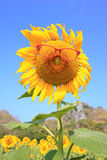 Sunflower wearing red eyeglasses. With blue sky Stock Photos