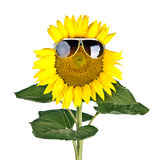 Sunflower wearing sunglasses isolated Royalty Free Stock Photography