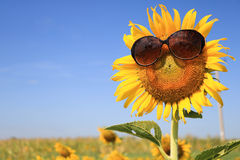 Sunflower wearing sunglasses Royalty Free Stock Photo
