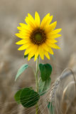 Sunflower in the wheat field. Beautiful sunflower and ear of wheat Stock Image