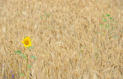 Sunflower in a wheat field Stock Images