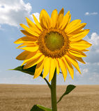 Sunflower in a wheat field Royalty Free Stock Photography