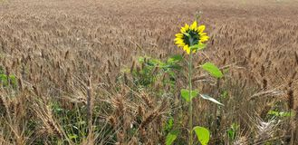 Sunflower in wheat field. Sunflower in field of wheat blooming on sunny day Stock Photo