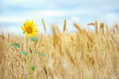 Sunflower  in wheat field Stock Images