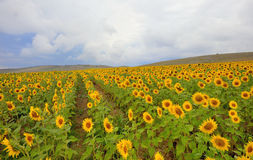 Sunflower in a wheat field Stock Photos