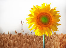 Sunflower in wheat field Royalty Free Stock Photo
