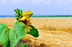 Sunflower in the wheat field. One Sunflower in the wheat field stock image