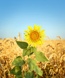 Sunflower and wheat field Royalty Free Stock Image