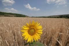 Sunflower in a wheaten field. Royalty Free Stock Image