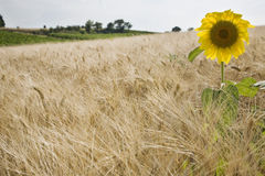 Sunflower in wheatfield Royalty Free Stock Image