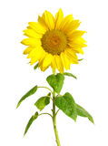 Sunflower on white royalty free stock photo