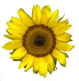 Sunflower on white. A sunflower on a white background Royalty Free Stock Photos