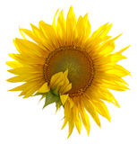 Sunflower on a white Royalty Free Stock Photos