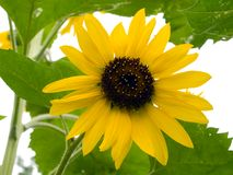 Sunflower on white. Summer sunflower flower floral background isolated on white Stock Images
