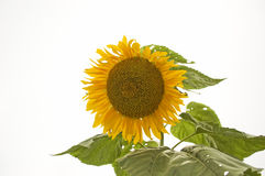 Sunflower on white  Stock Images