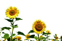 Sunflower on white Royalty Free Stock Images