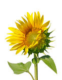 Sunflower on the White Background Stock Photography