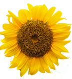 Sunflower on white background Stock Images
