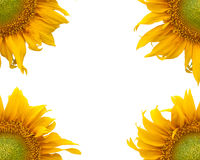 Sunflower. On white background Royalty Free Stock Images