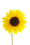 Sunflower on white background Royalty Free Stock Photos