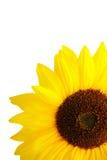 Sunflower on white background Stock Image