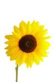 Sunflower on white background Royalty Free Stock Photos