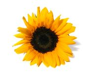 Sunflower white background Stock Image