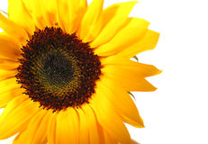 Sunflower white background Royalty Free Stock Photography