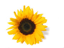 Sunflower white background Royalty Free Stock Images